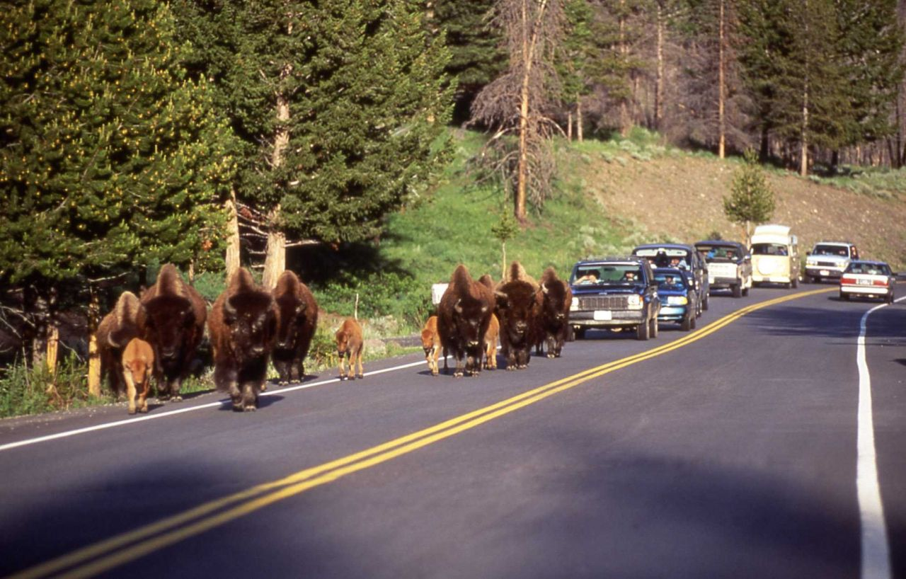 Bison & calves cause traffic jam on road Photo
