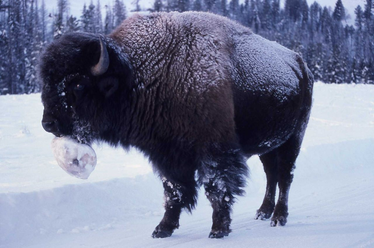 Bison with snowball on chin in Lamar Valley Photo