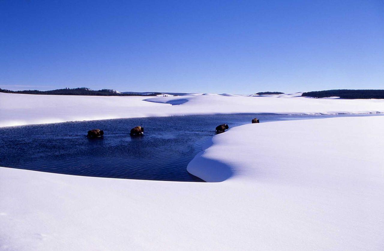 Bison in winter in Alum Creek Photo