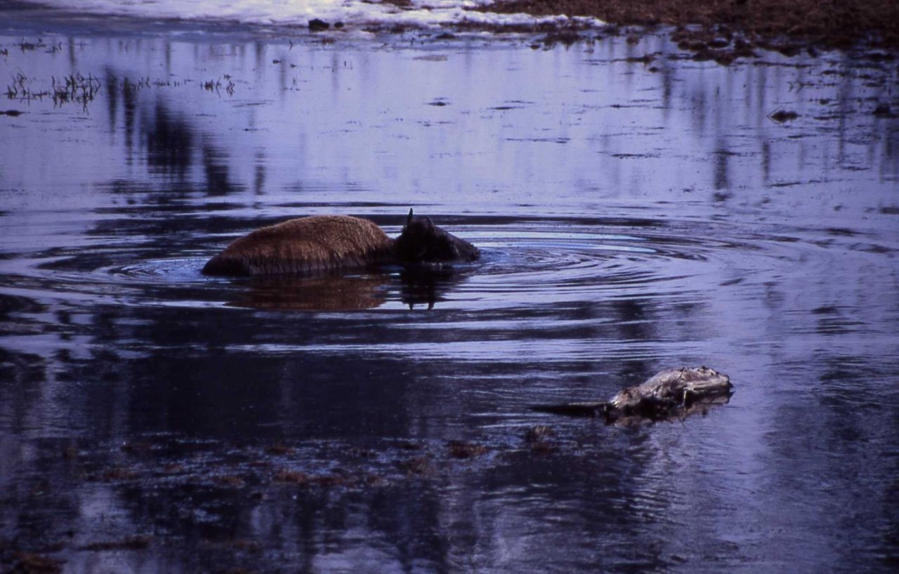 Bison stuck in mud in Madison River Photo
