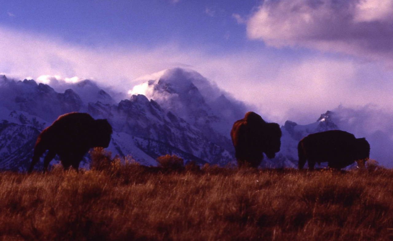 Bison with Grand Teton in background Photo