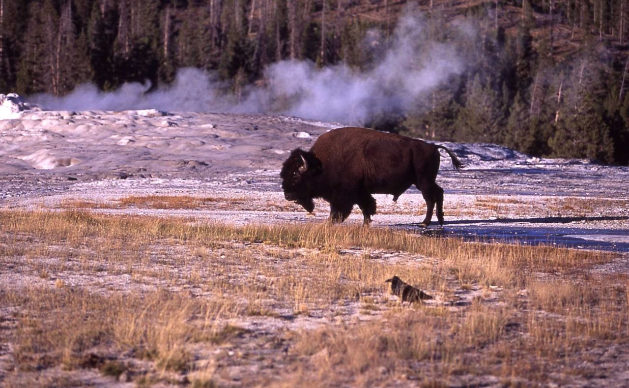 Bison at Old Faithful cone Photo