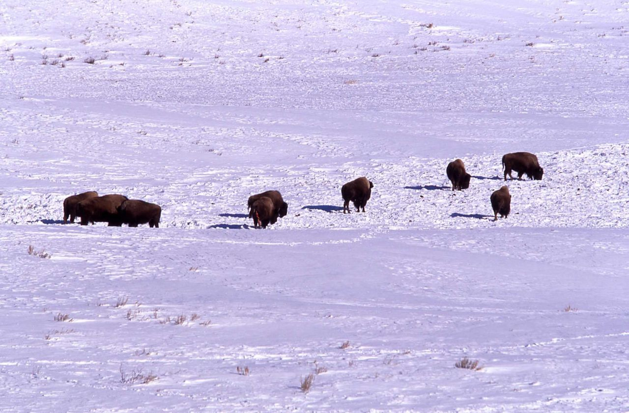 Bison cow with afterbirth in snow, possibly an aborted calf, near Blacktail Lakes Photo
