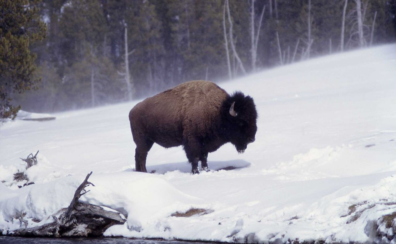 Bison along firehole in snow Photo