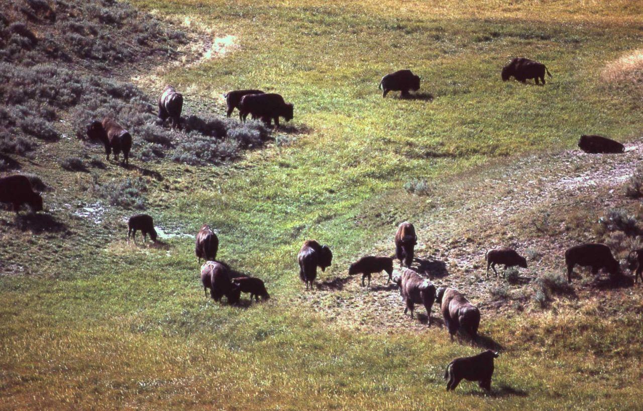 Bison herd Photo