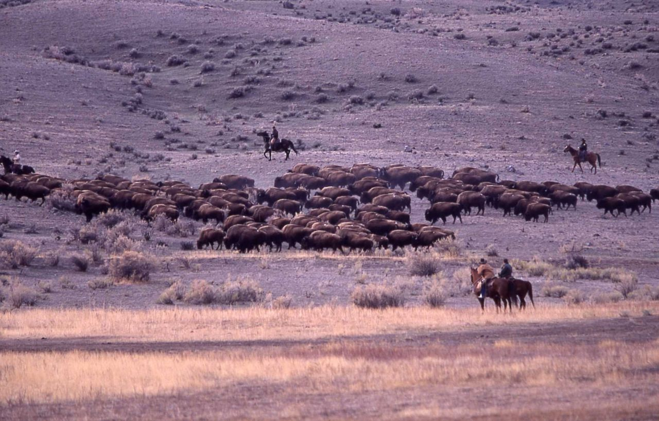 Bison moving southeast from Stephens Creek pen - staff on horseback monitoring Photo