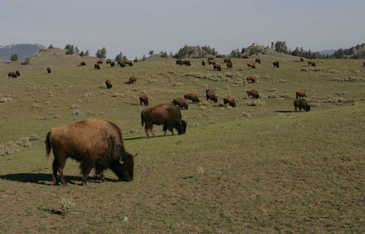 Bison herd - Little America Flats Photo