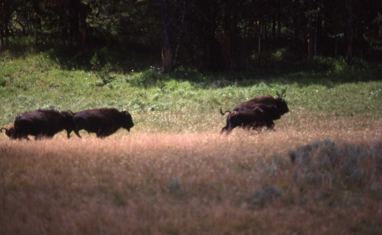 Bison running Photo