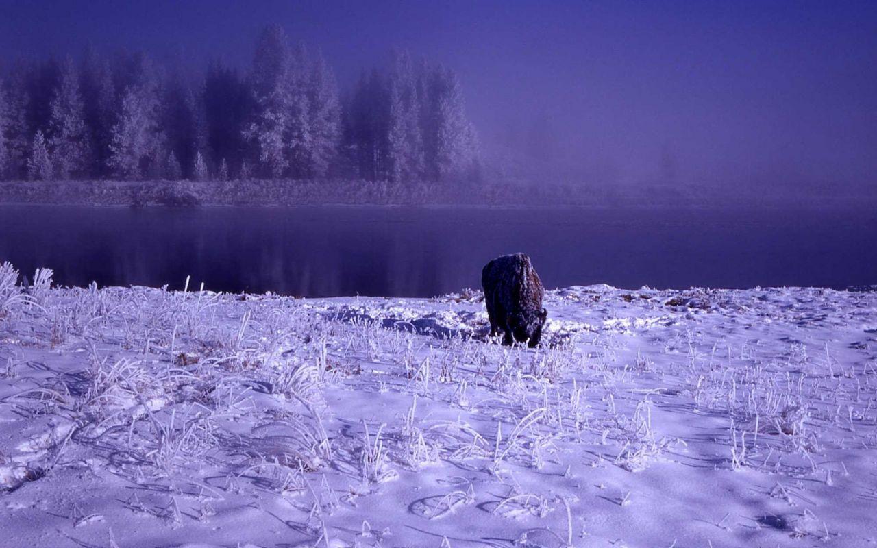 Bison in snow in Hayden Valley Photo