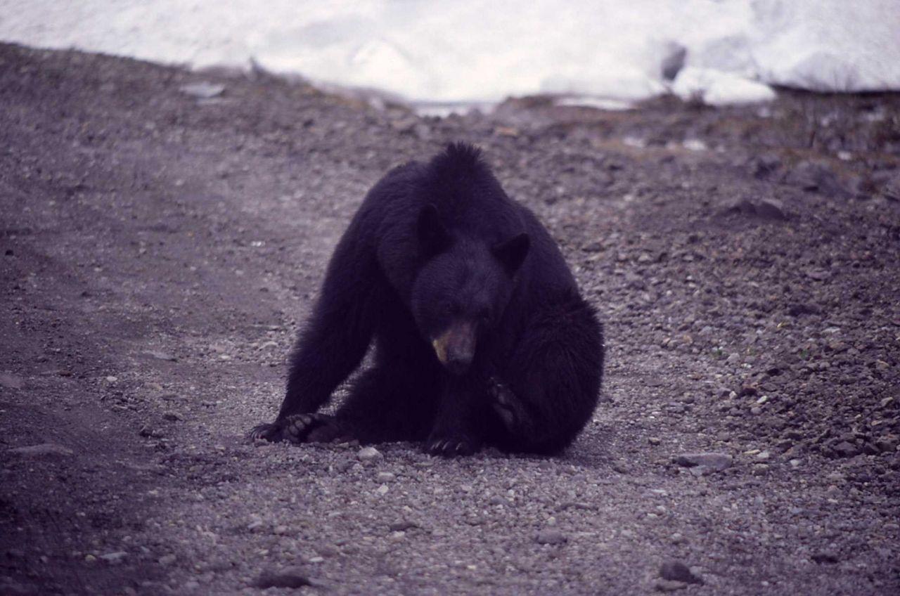 Black bear on shoulder of road Photo