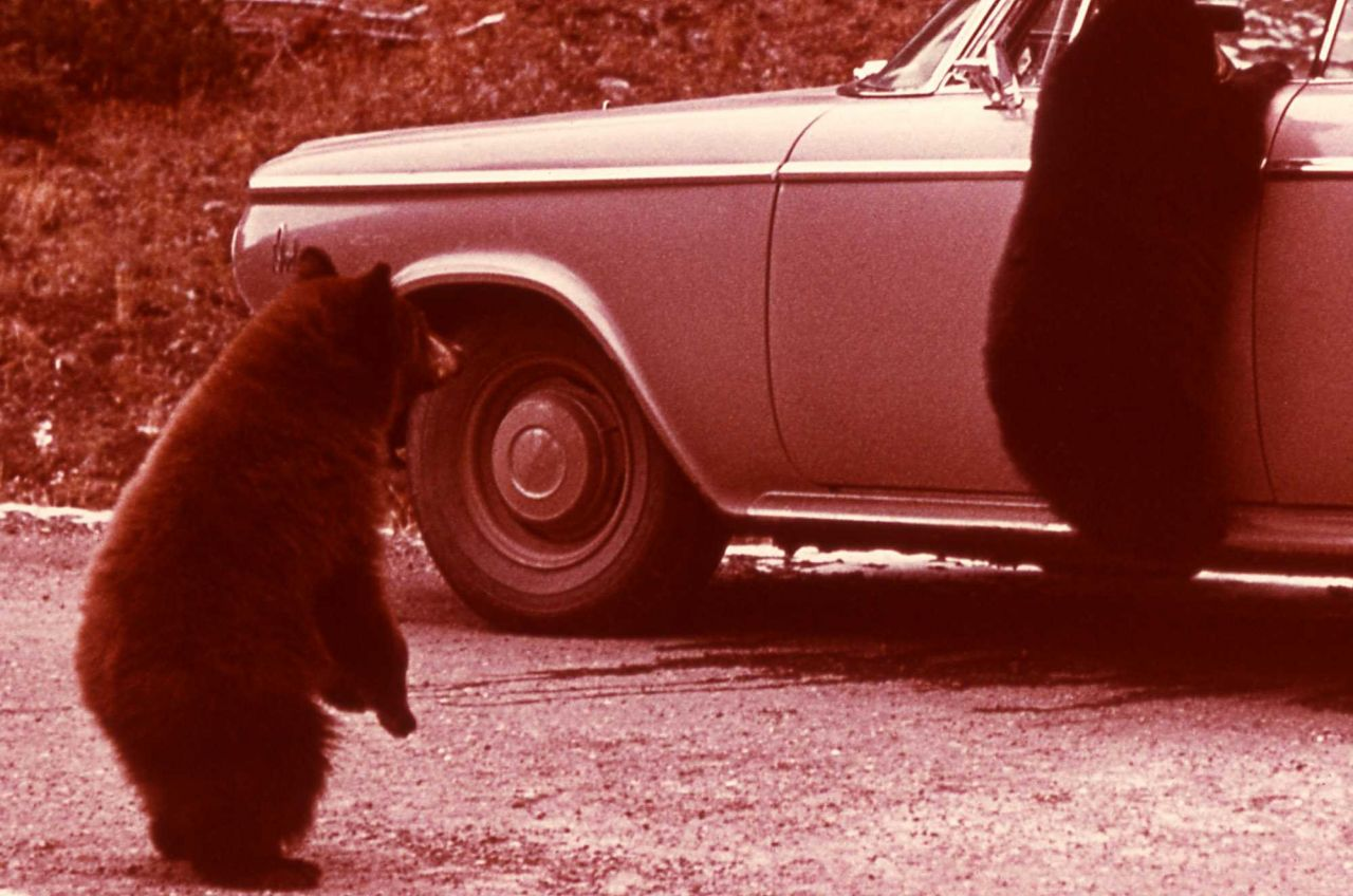Two black bears - one on the side of a car Photo