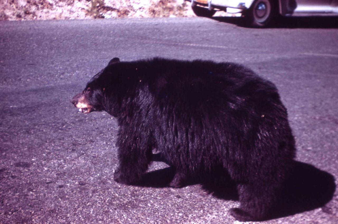 Black bear on road near Tower Falls Photo