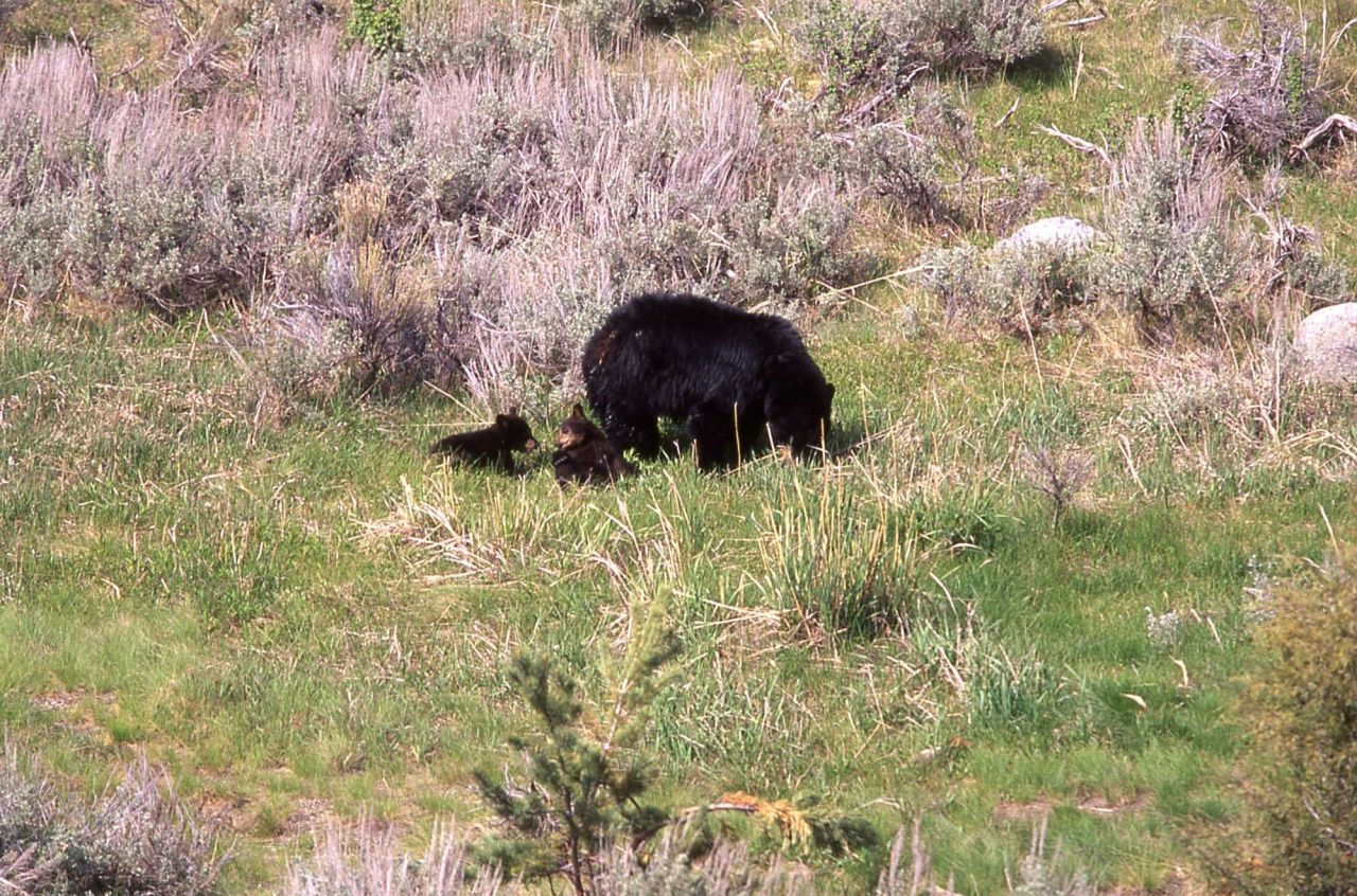 Black bear & two cubs near Tower Junction Photo