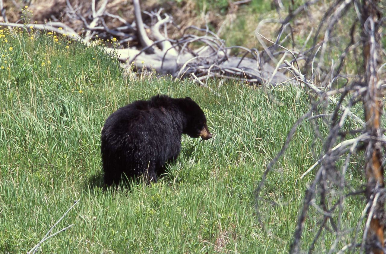 Black bear near Elk Creek west of Tower Photo