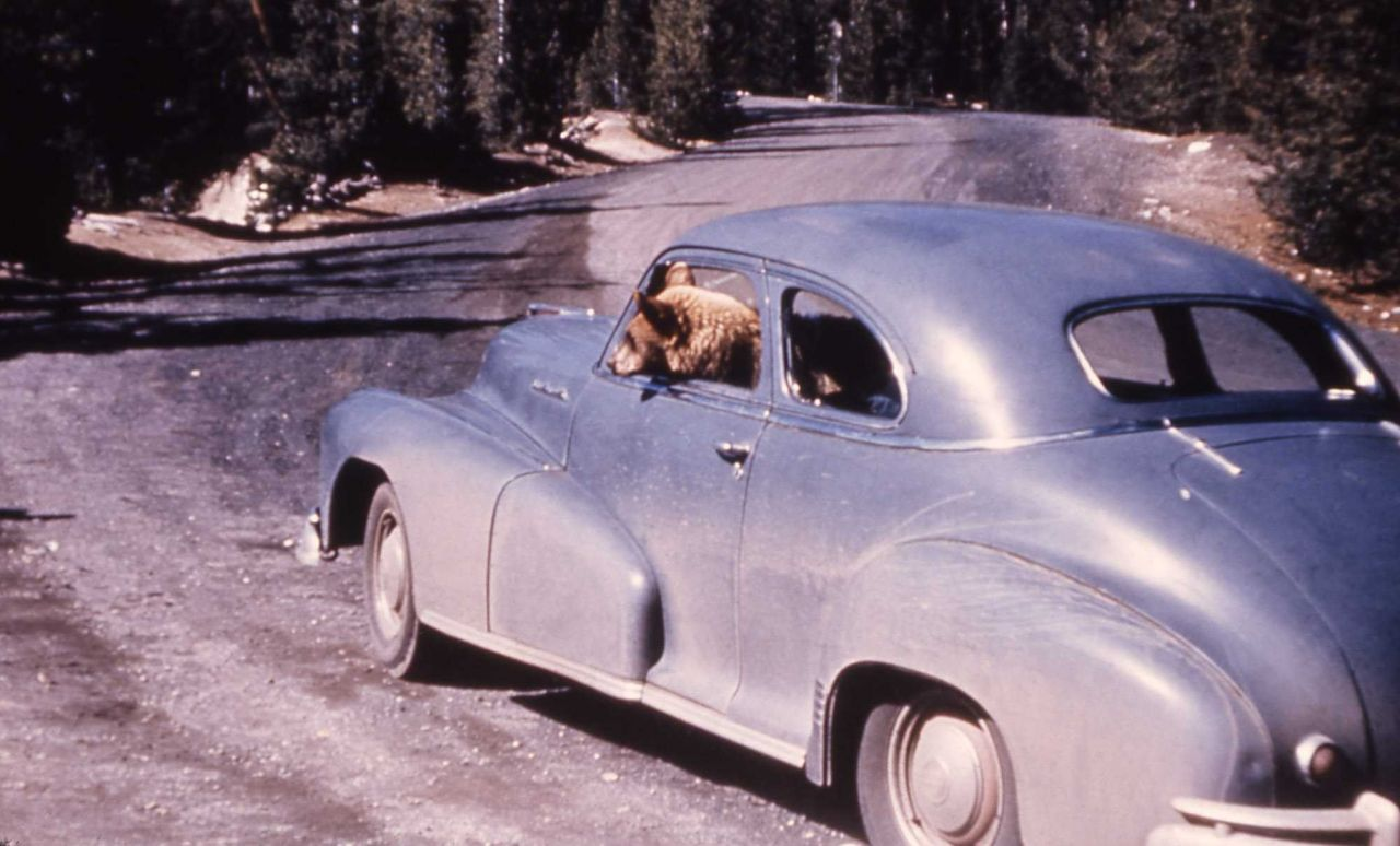 Black bear in driver's side of car Photo