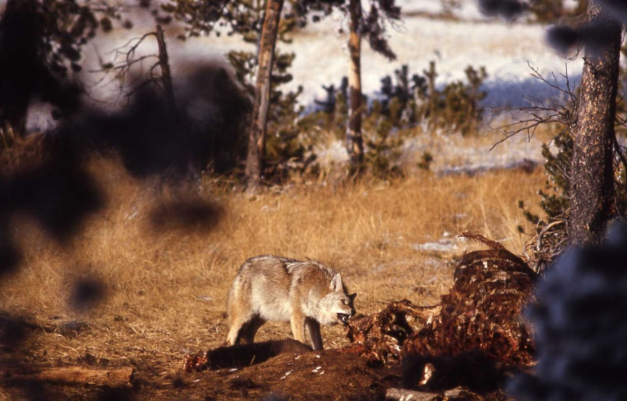 Coyote gnawing on bison skeleton Photo