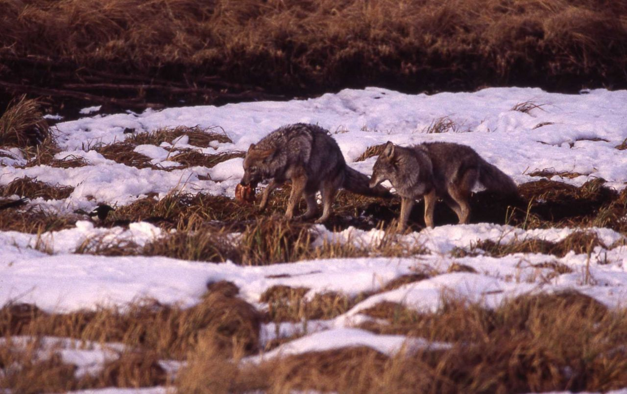 Coyote eating elk near Geode Creek Photo