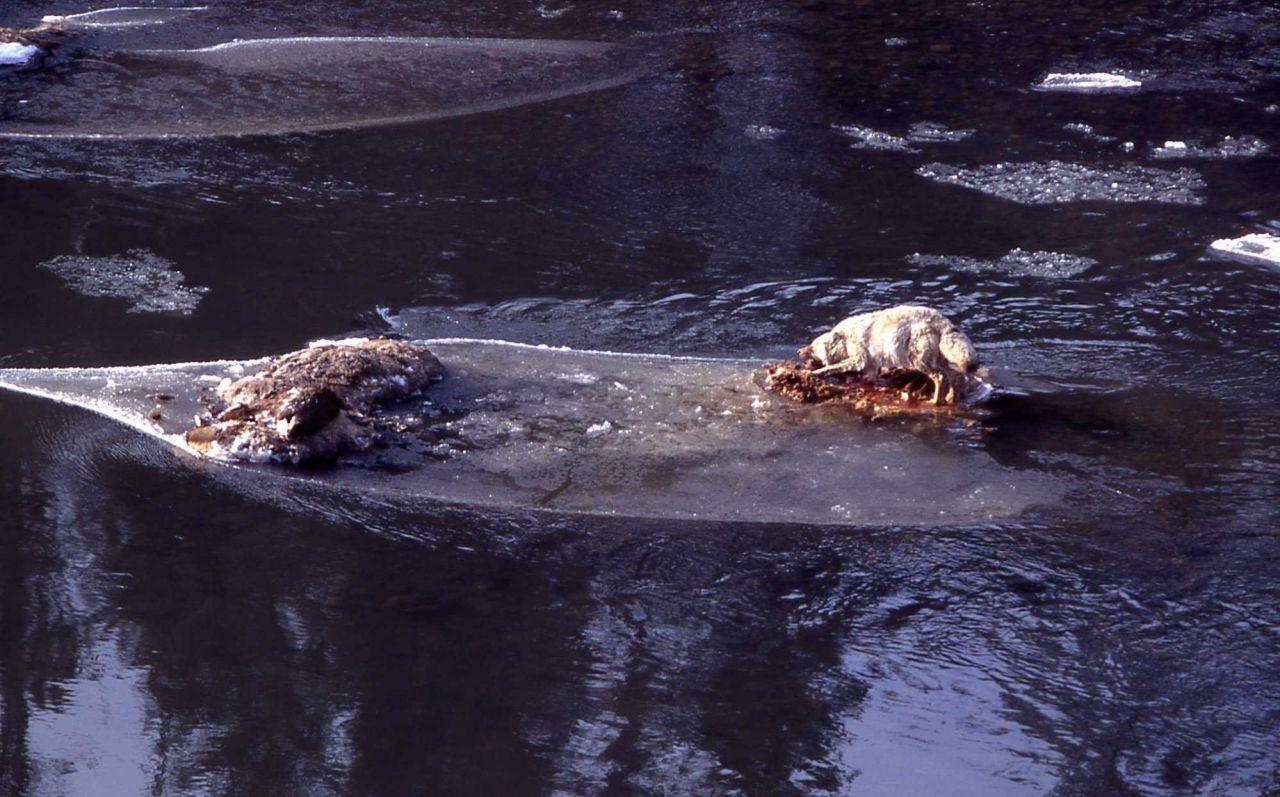 Coyote on elk carcasses - 14 elk fell through ice on Lamar River Photo