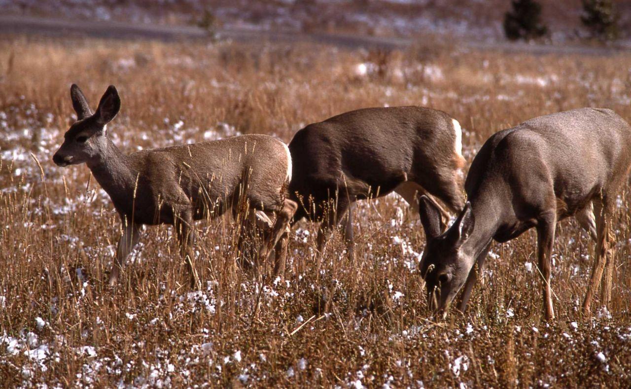 Mule deer does Photo