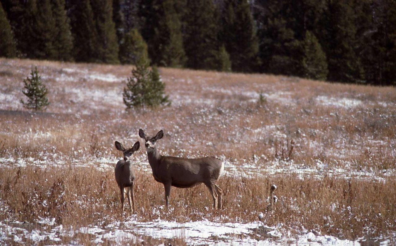 Mule deer doe & fawn Photo