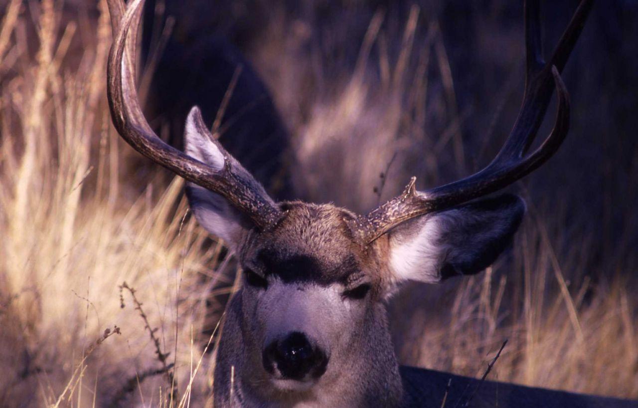 Mule deer buck head Photo