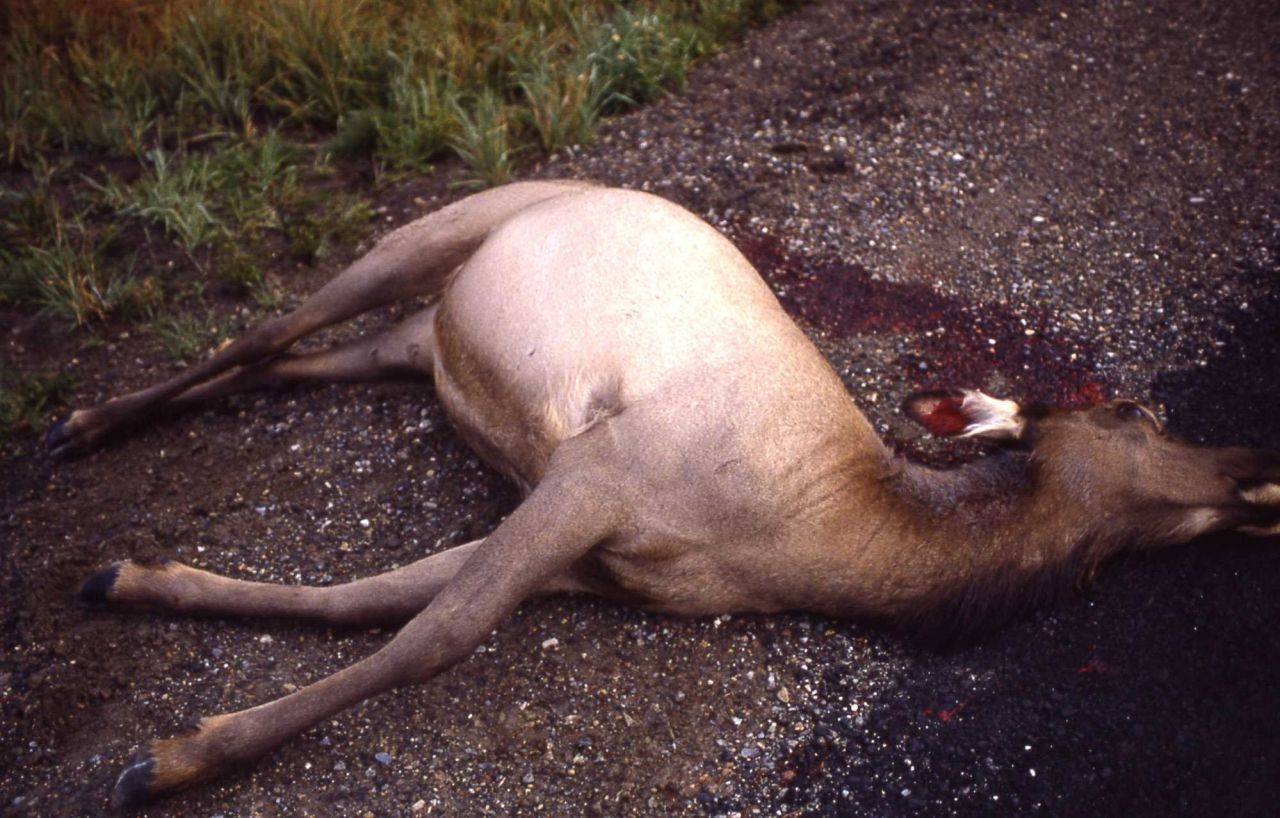 Road killed cow elk Photo