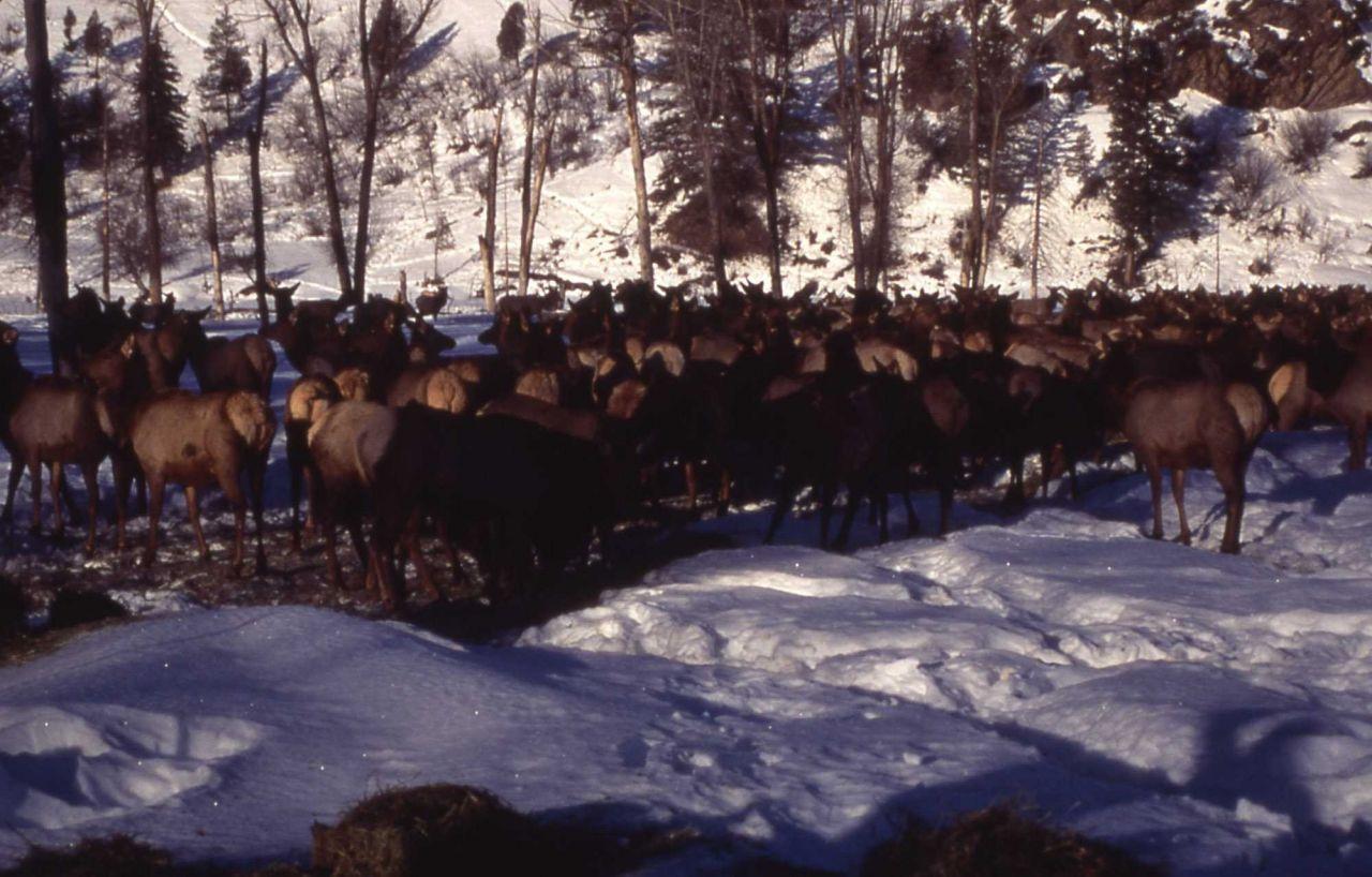 Elk at Wyoming elk feeding ground Photo