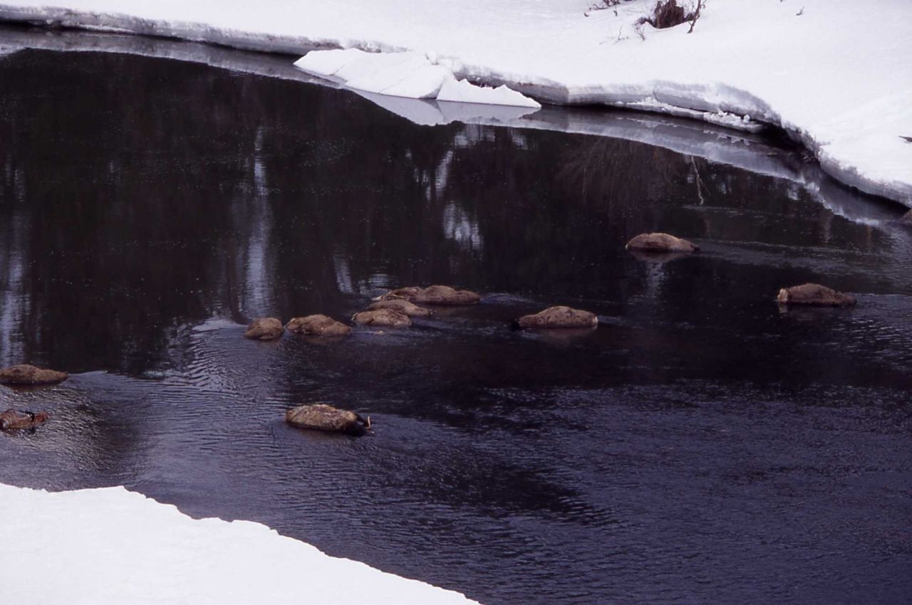 Elk carcasses in winter in Lamar River - 14 fell through ice Photo