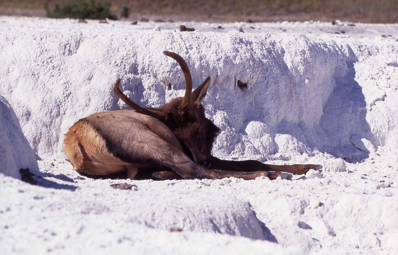 Spike elk on Opal Terrace Photo