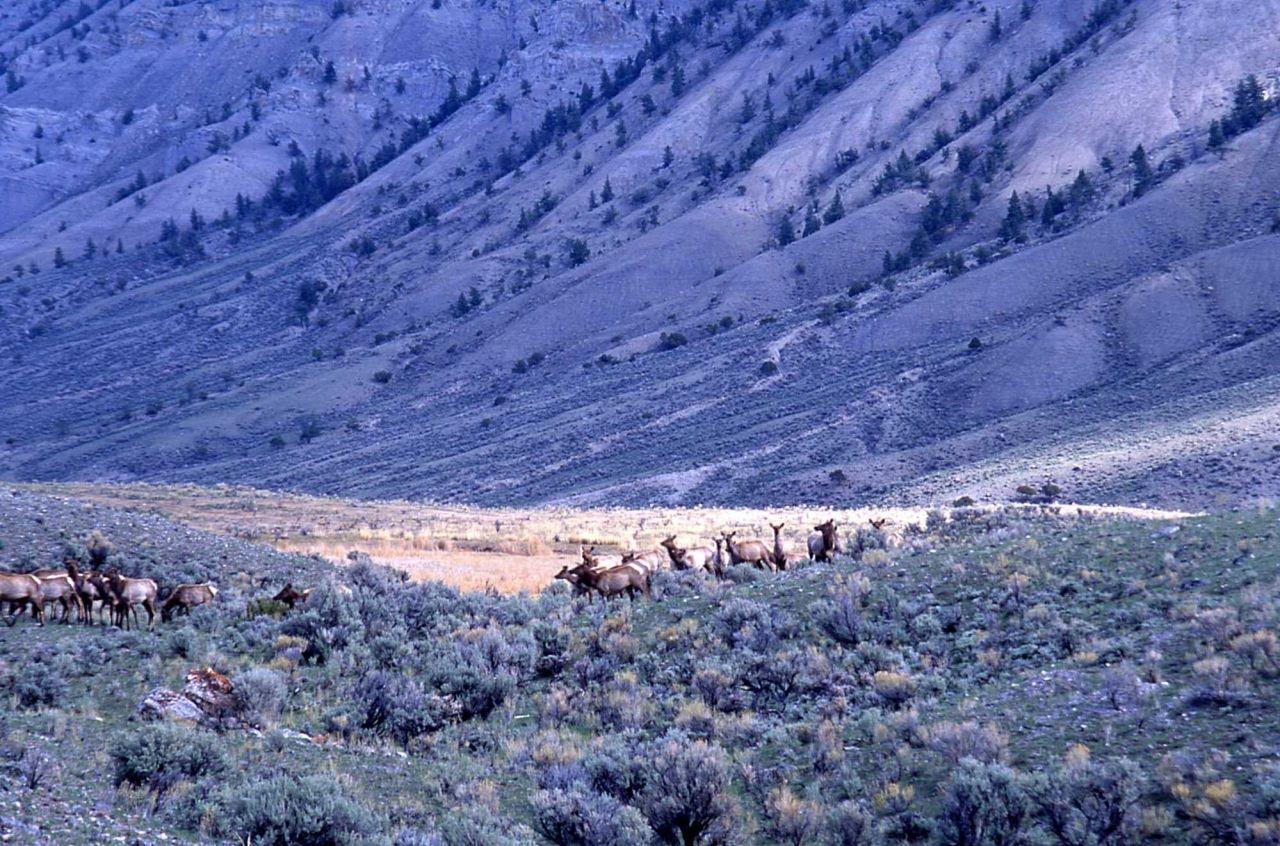 Elk herd with Mt Everts in background Photo