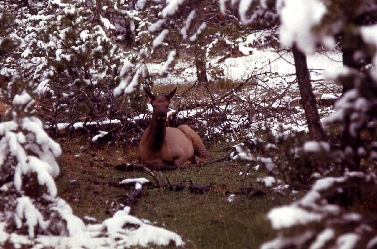 Elk calf Photo