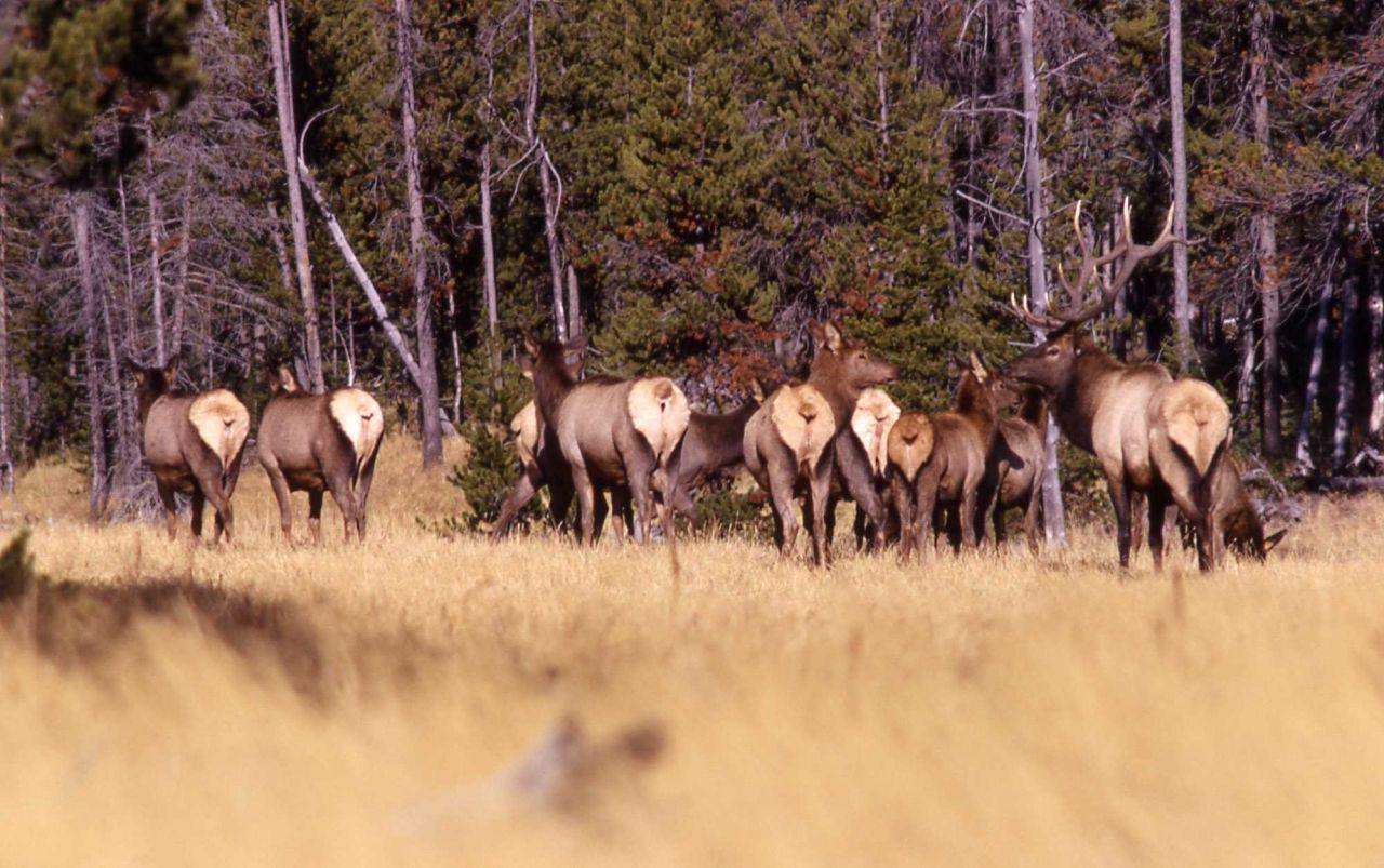Elk herd Photo