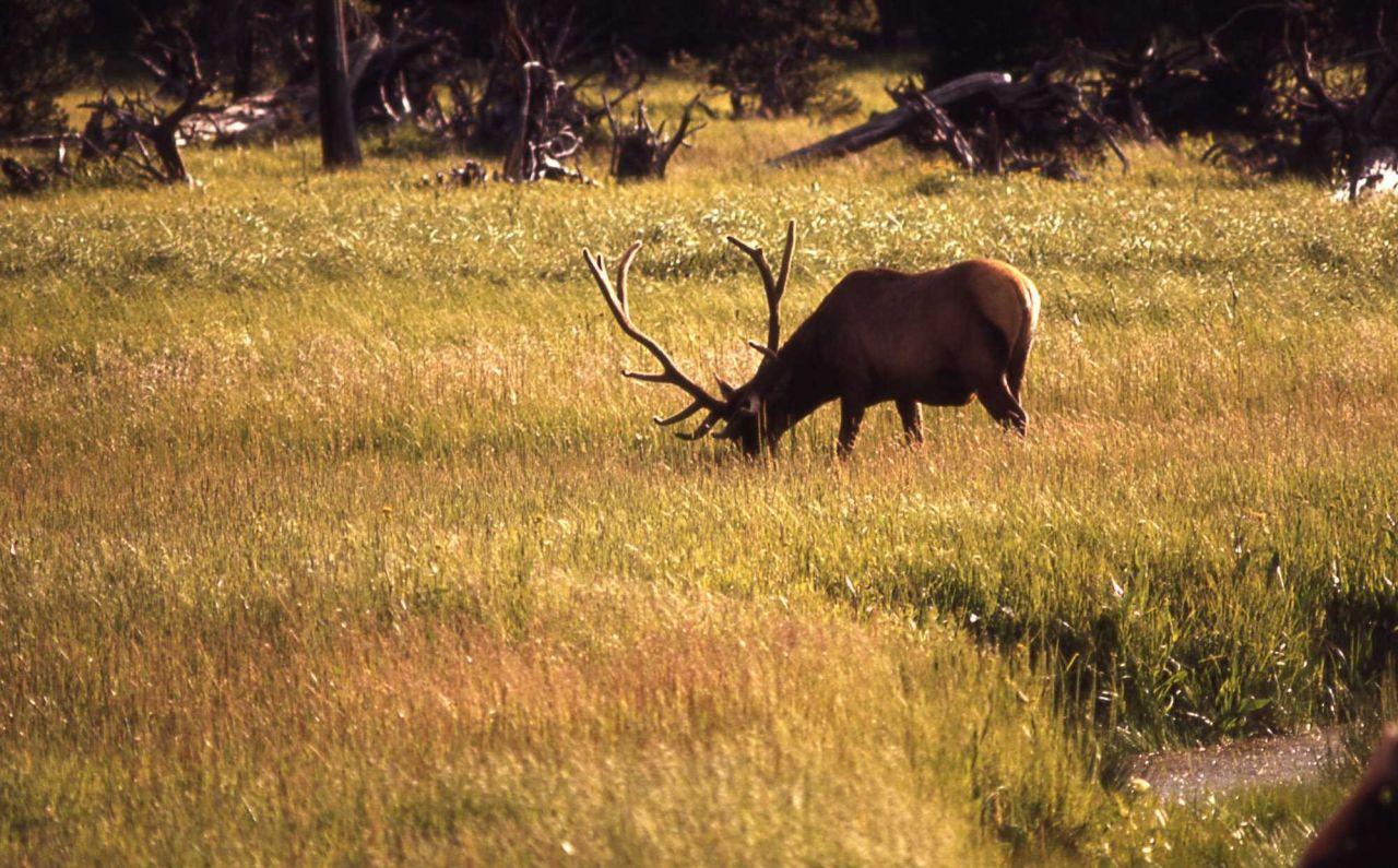 Bull elk in velvet Photo