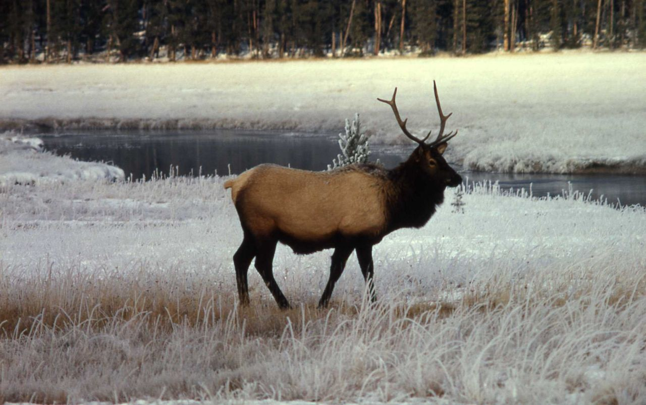 Bull elk Photo