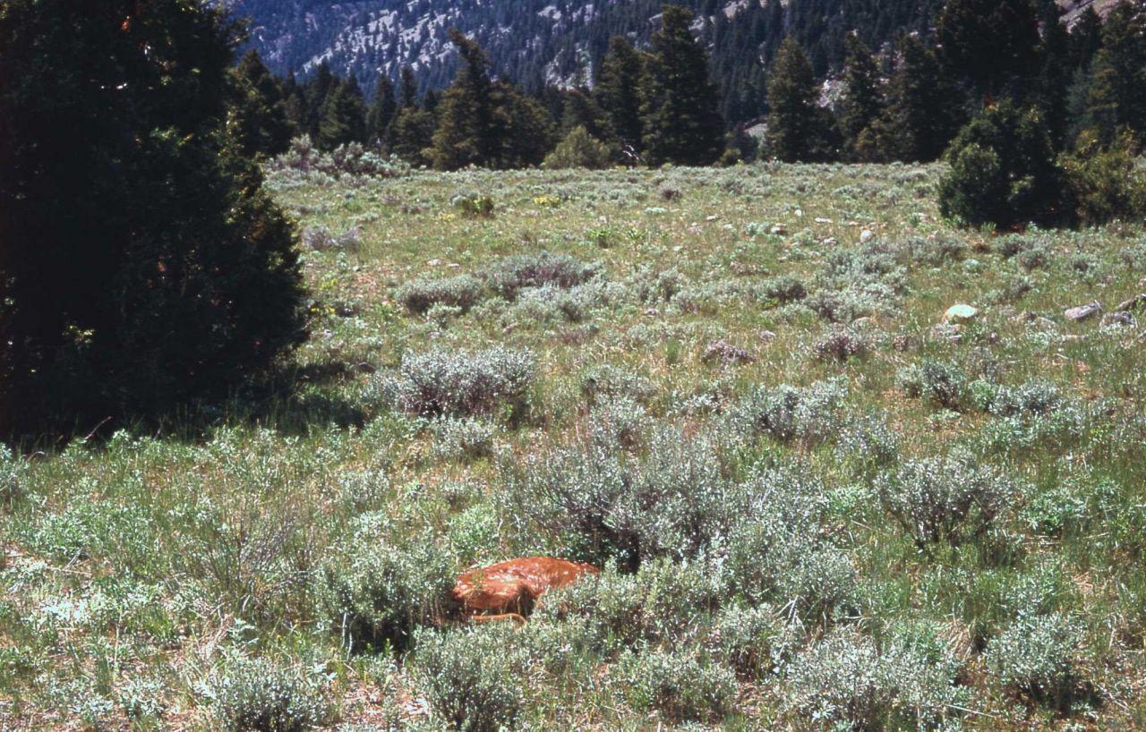Elk calf a few days old Photo