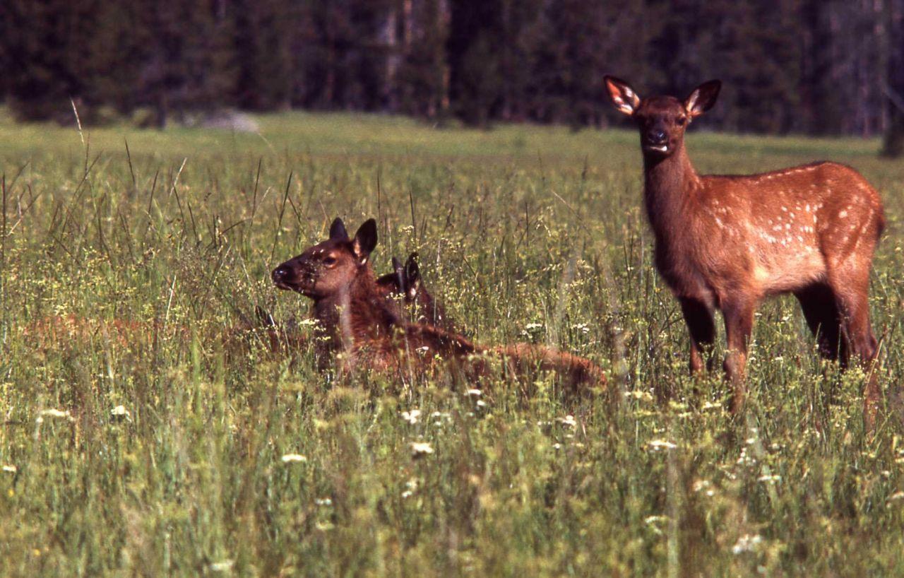 Young elk Photo