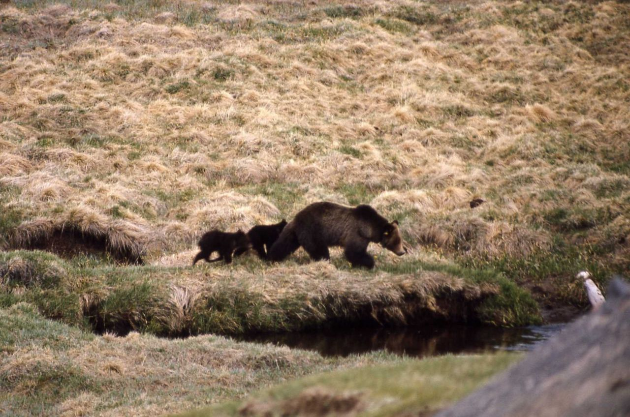 Grizzly bear & cubs Photo