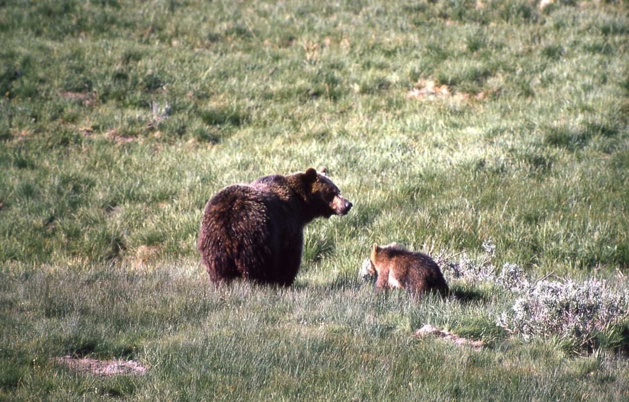 Grizzly bear sow & cubs Photo