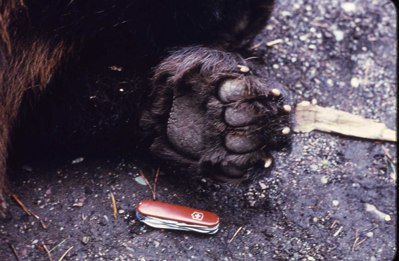Grizzly bear paw with Swiss Army knife for perspective Photo