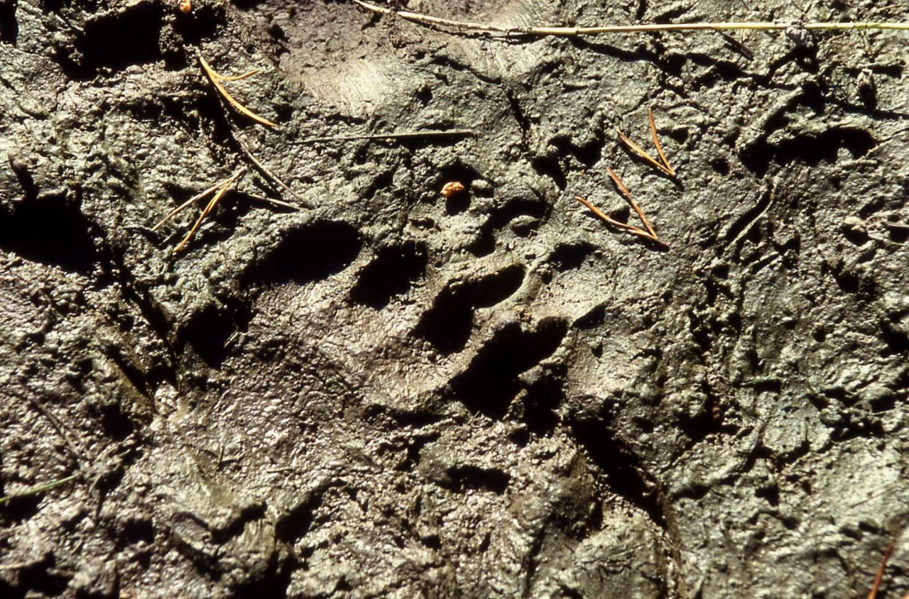 Grizzly bear track in mud Photo