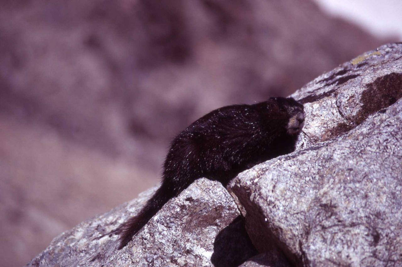 Yellow-bellied black marmot Photo