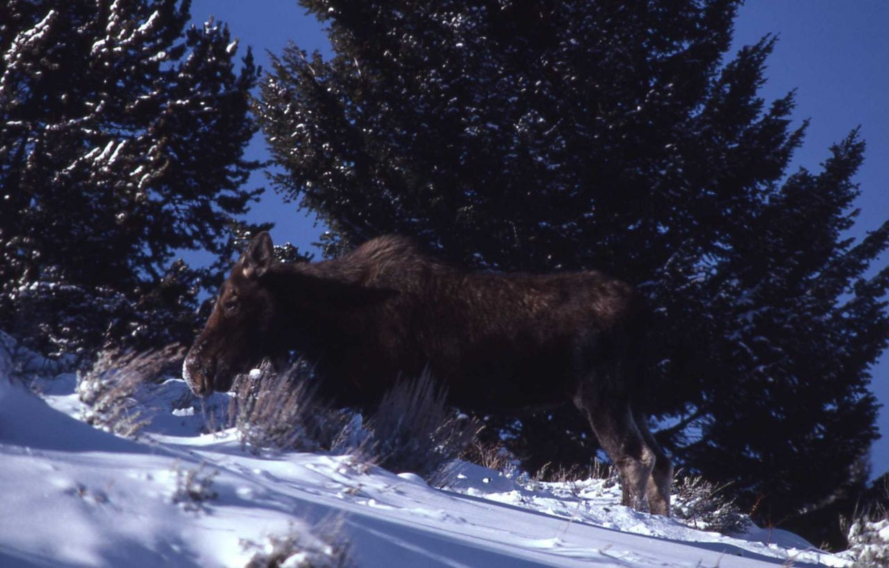 Cow moose in deep snow Photo