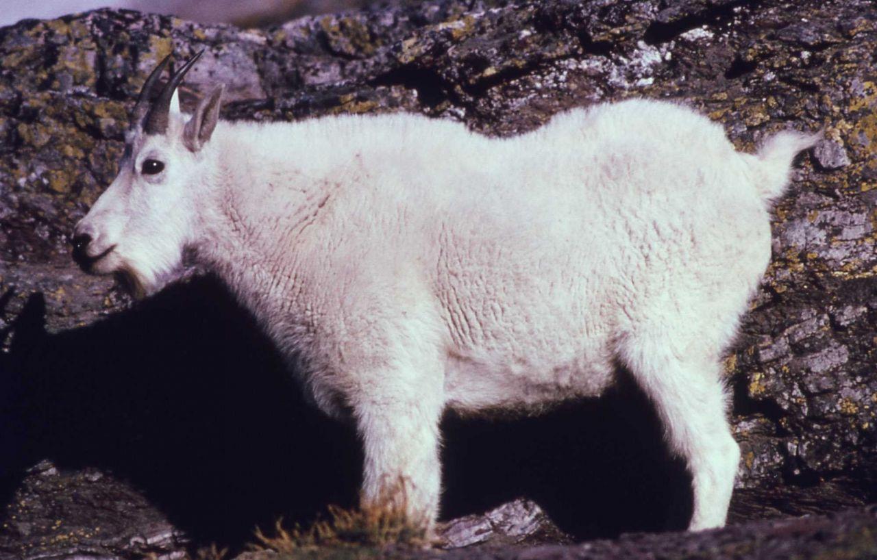 Mountain goat in Glacier National Park Photo