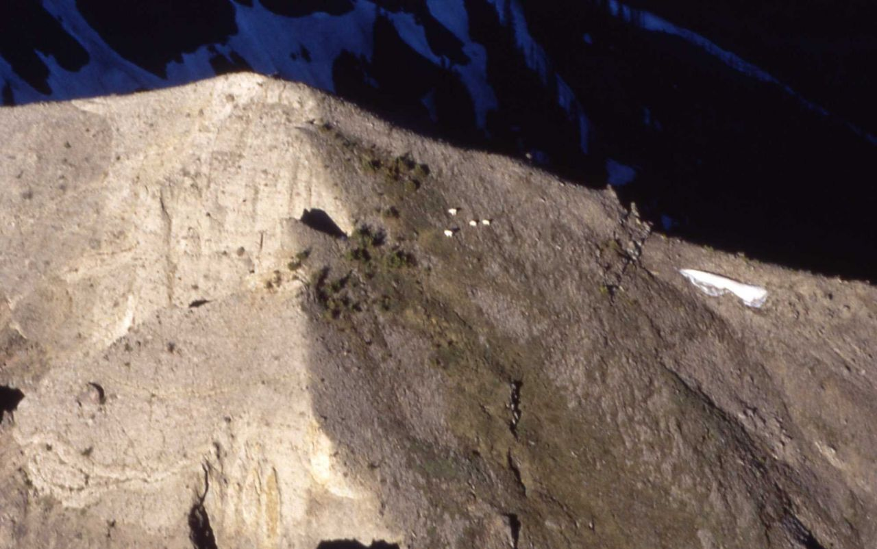 Mountain goats in the northeast section of Yellowstone National Park Photo