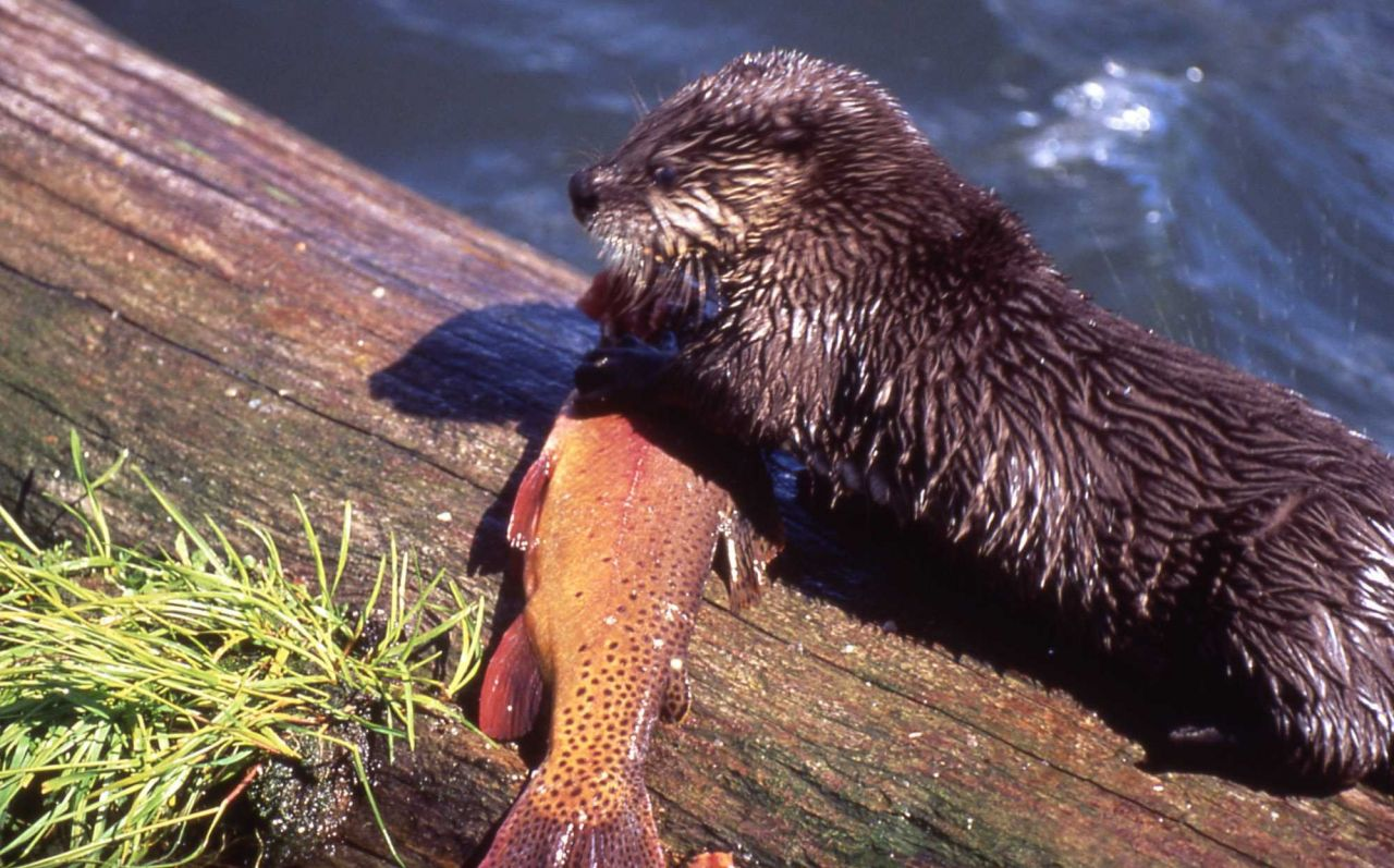 Otter with trout at Trout Lake Photo