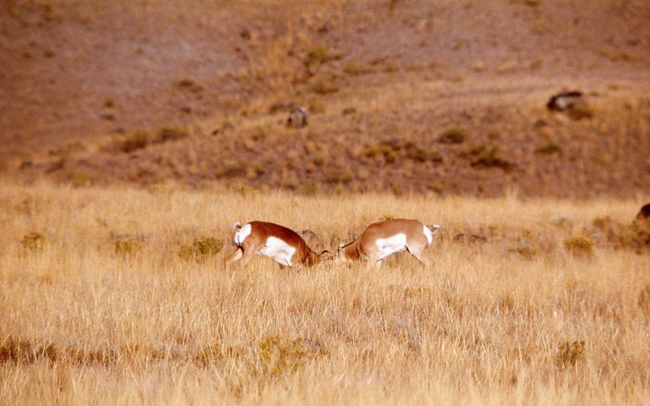 Pronghorn antelope bucks fighting Photo