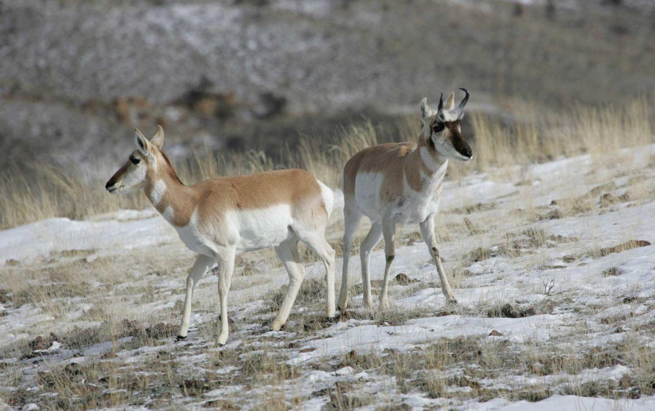Pronghorn doe & buck northwest of Gardiner, MT Photo