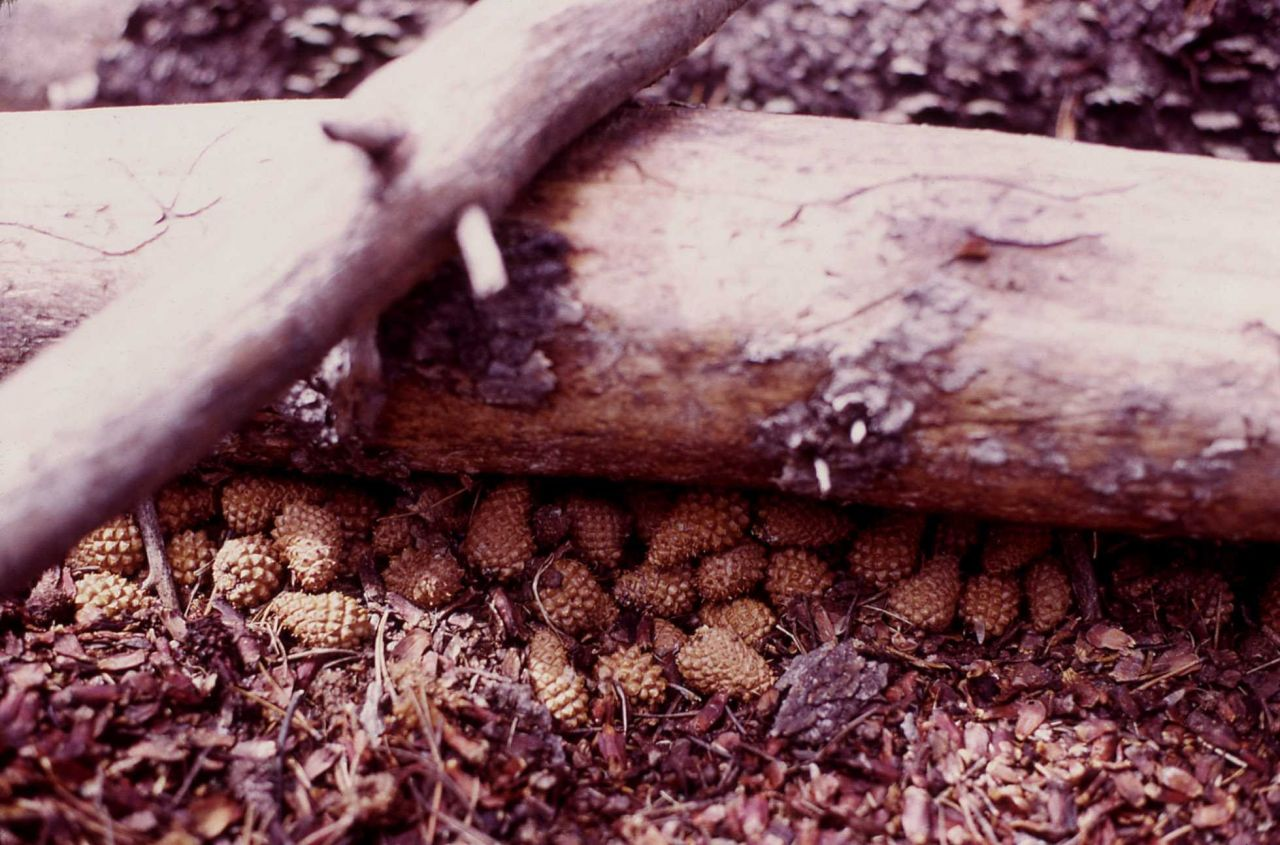 Nuts stored by a red squirrel Photo