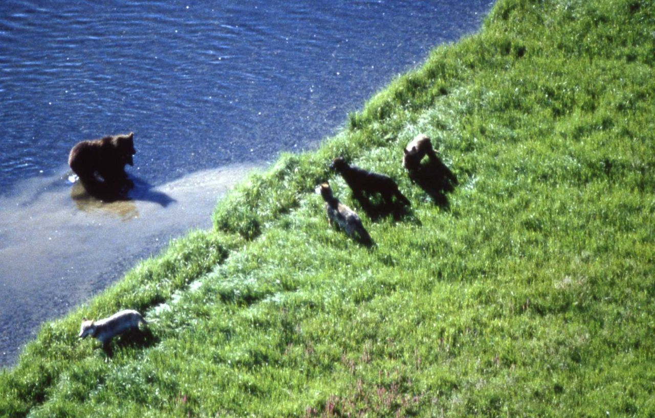 Aerial of the Crystal wolf pack interacting with grizzly bear & cubs Photo