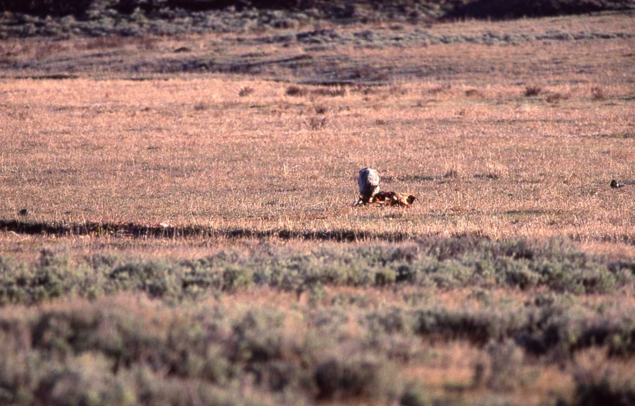 Wolf feeding on carcass near Tower Junction Photo